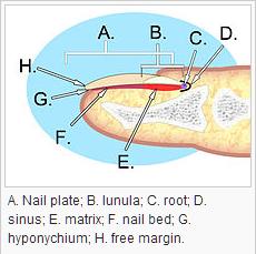 Onderdelen van nagels
